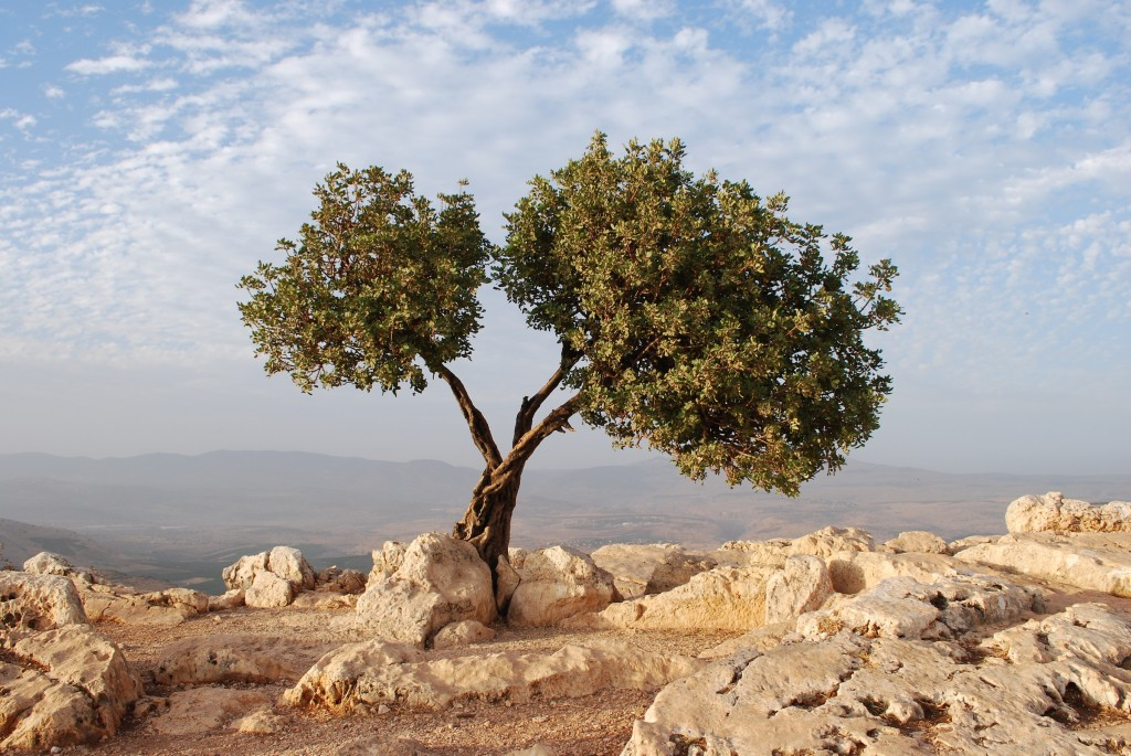 Beautiful Tree in Israel