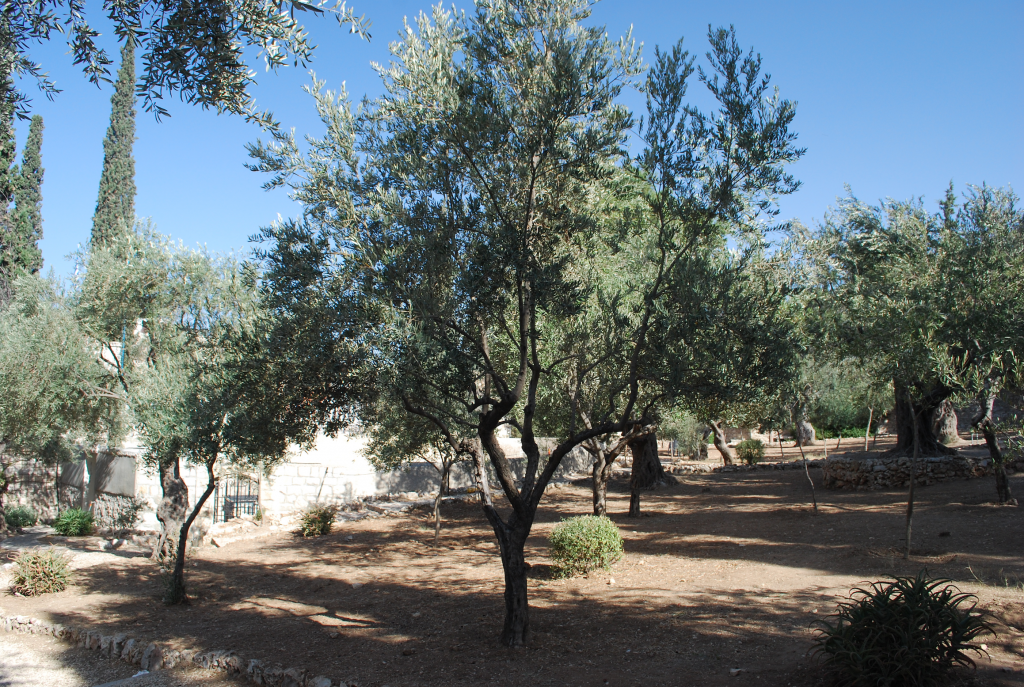 Olive Trees In Jerusalem Israel - Prayer is Talking to God