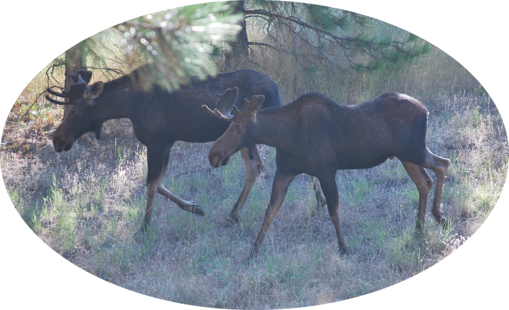 Two Moose in Little Spokane River area