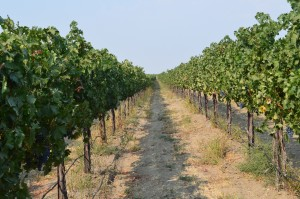 Grape Vines in Eastern Washington