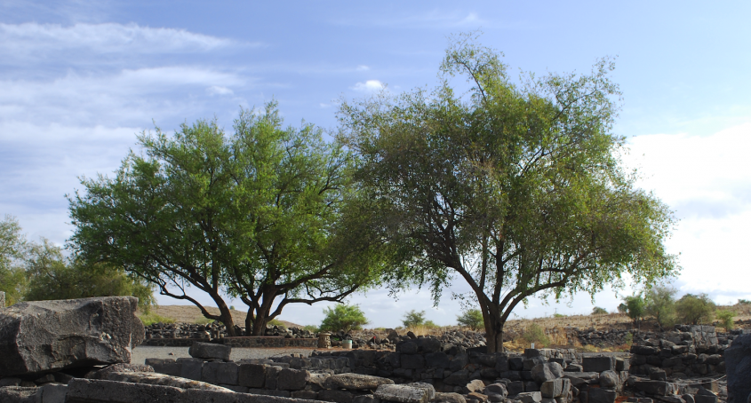 Two Trees, Chorazin Israel