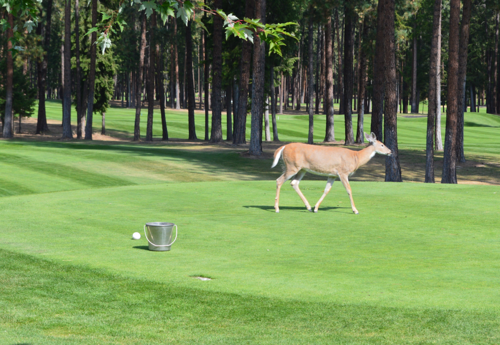 Deer on the Golf Green